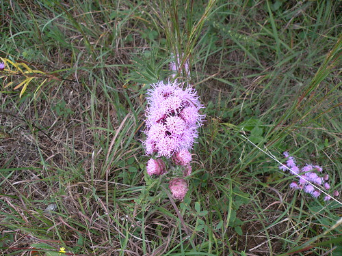 Liatris pyxnostachya or prairie blazing star on September 20, 2009, DSCN1661