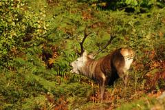 La Berrea 1 (Manuel Surez Calvo) Tags: otoo alpha reddeer venados ciervos berrea parquenaturalderedes campocaso alpha700