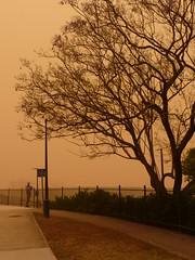 Jacaranda Tree and dust (opanook) Tags: tree fence haze brisbane queensland dust duststorm jacarandatree