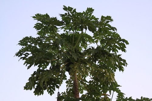 Papaya in Sabou, Burkina Faso.