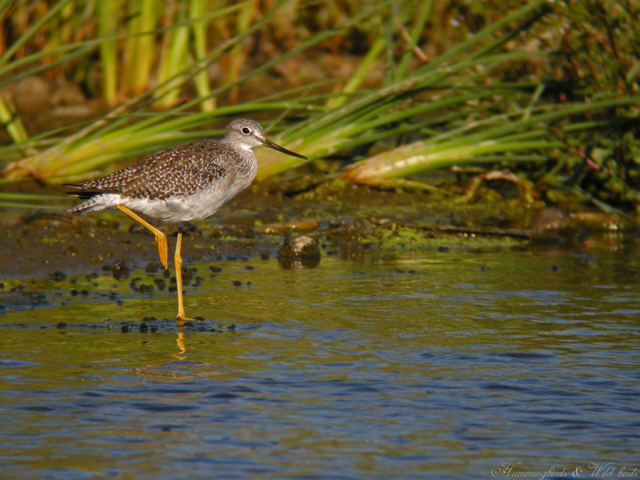 Greater Yellowlegs09093