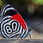 Butterfly nº 80