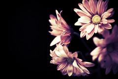 Pink Flowers (KKatanich) Tags: pink flowers negativespace vintagecolorspectrum