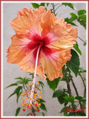 An apricot Hibiscus 'Madeline Champion' in our garden