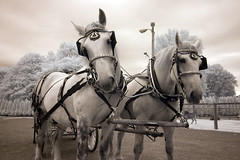 Horses (vintod) Tags: blue trees horses bw horse cloud baby white snow black cold tree cute love ice nature sunglasses animal sepia clouds barn fence ir island person glasses vineyard vines infant long child carriage brother farm country north goat vine fork winery crop grapes infrared crops icy grape tone hdr equine wineries tonemapped tonemapping tonemap