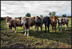 The Gang. (Pat Dalton...) Tags: trees sunlight field shadows cattle cows leicestershire hedge canon450d sigma1770lens pdeee454 patdalton