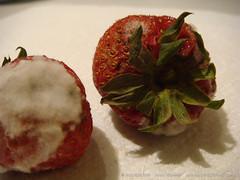DSC09946 (Danny Engesser) Tags: food macro fruit strawberry strawberries mold moldy