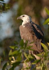 White-bellied Sea-Eagle (Jon Thornton) Tags: nikon australianbirds d300 accipitridae whitebelliedseaeagle haliaeetusleucogaster accipitriformes jonthornton 600mmf4gvr