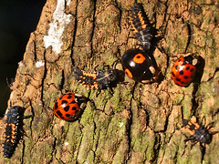 INVADERS (algo) Tags: wood red england black church photography interestingness explore ladybird ladybug algo larvae gatepost monksrisborough explore25