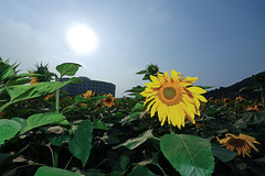 El girasol timido  The shy sunflower (Vivionitier) Tags: china nikon plantas flash sb600 sunflowers universidad sunflower hangzhou gran angular girasol girasoles 1424 d700