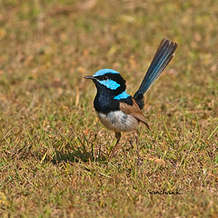 Superb Fairy-Wren (somchai@2008) Tags: fairywren superbfairywren maluruscyaneus