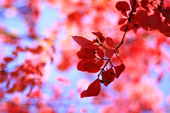how to be red (SoniaBonia) Tags: blue autumn red fall leaves catchycolors nashville bokeh indiana browncounty