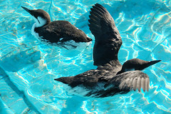 Common Murres in Therapy Pool