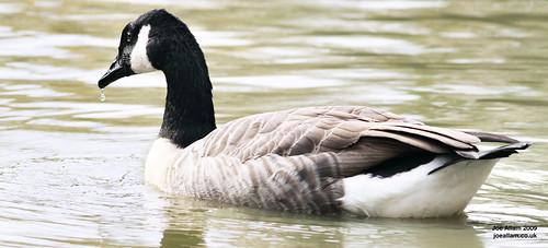 Goose Drip
