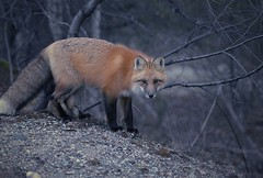 Renard roux (Rock Arsenault) Tags: fox renard