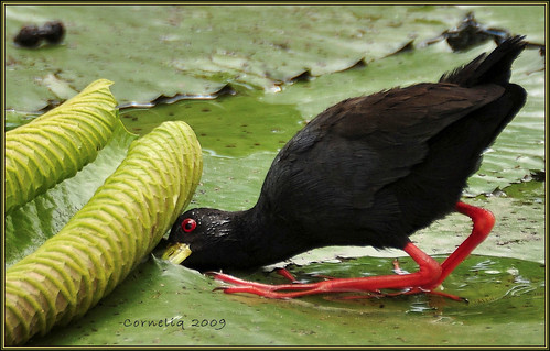 latest pics of black crake youtube