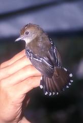 Thamnophilus punctatus leucogasterChinchipe PE 9-02 4 (barbetboy) Tags: thamnophilus fbwnewbird fbwadded northernslatyantshrike thamnophiluspunctatus