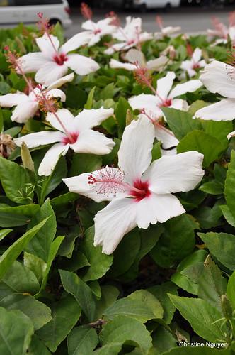 LAX hibiscus