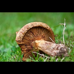Morte saison (manu4971) Tags: france macro nature mushroom up grass topv111 closeup canon eos 350d europe close natural maine sigma fungi topc100 fungus 105 loire champignon herbe angers anjou