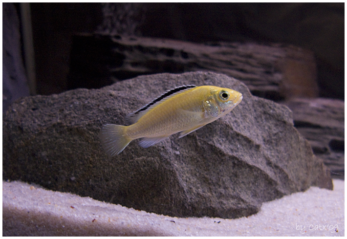 acuario_malawi_caeruleusi1_IMG_7736