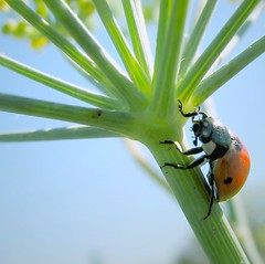 Climbing a fennel stalk (wolfpix) Tags: insectos canon bug insect beetle insects ladybird ladybug joaninha insetti  coccinelle marienkfer insetos  bille coleoptera mariquita potofgold coccinellidae coccinella lieveheersbeestje  biedronka kumbang  skalbagge katicabogr insekte canonpowershots3is  beruka     coleopterids ciarg kumbangkecil