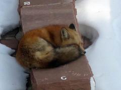 Hellems fox 3