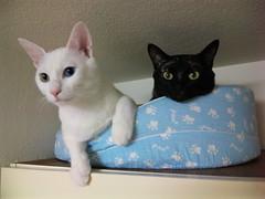 cat milk brother cocoa