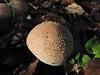 gem-studded puffball - lycoperdon perlatum