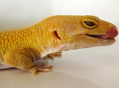 Julius March 27 (Daequix) Tags: tongue gecko leopardgecko herpetology