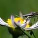 fly inside daisy