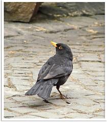 Amselmann Kurti - Mr Blackbird Kurti