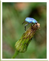 Hoplie bleue en plongée - Vaison-la-Romaine (Vaucluse) (Charlottess) Tags: provence vaucluse scarabée hoplie