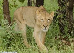 La mirada de la leona (artabracelta) Tags: leon leona kruger sudafrica southafrica summer verano viaje travel safari satara skukuza nikon d5100 teleobjetivo tamron 70300 fotografia photo park portrait retrato africa lion female male