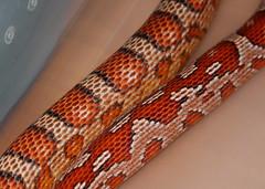 Ultramel Corn Snake Corn Snakes Norm Het Amel