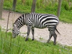 gsh dj (dmathew1) Tags: elephant tampa penguin florida wildlife zebra giraffe rhinoceros lowryparkzoo safariafrica