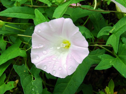Calystegia spp Fukui Japan 1