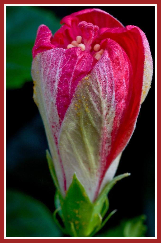 Hibiscus Opening soon-1