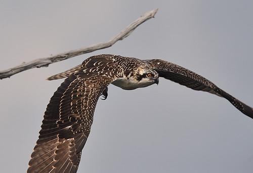 Osprey Leap
