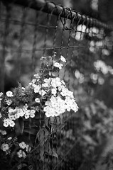 . (Ansel Olson) Tags: flowers urban film fence virginia nikon dof kodak bokeh richmond historic neighborhood va f3 residential 50mmf14 bw400cn thefan