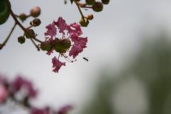 Parc Floral - Vincennes-38 (MissDogo) Tags: paris macro fleur closeup animaux parc insectes vincennes parcfloral proxyphoto hym hyménoptères hymnoptres