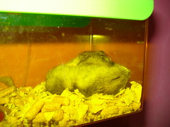 Hamsters (carlinhakitty) Tags: pet hamsters hamsterchines