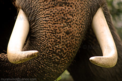 Smile of big bro (Light and Life -Murali ) Tags: india lake elephant race boat kerala trunk trophy nehru tusk alappuzha nehrutrophyboatrace vallam punnamada vallamkali chundanvallam img8310p1sc