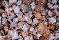 Mulovit (roj czech) Tags: texture shell badge swirl curl mule ulita