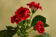 Red gloxinia denim (gurel.ayse) Tags: flowers red green texture vibrant brilliant gloxinia