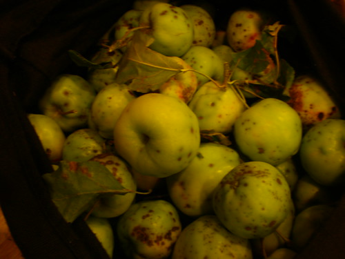 The six pounds of apples that I took home complete with twigs and leaves