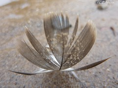 Feder am Strand (3) (Ellenore56) Tags: inspiration beach nature water strand grit seaside sand wasser natur feather fancy sands fantasie phantasie feder tz7 angesplt pennaceous dmctz7 05102009 panasonicdmctz7 ellenore56 tobewashedup