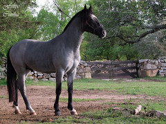 Bucanero da Timbaba (Felipe.Cunha) Tags: rio brasil criollo caballo grande interior altas rs cavalo riograndedosul sul pedras timbauba crioulo cabanha cavalocrioulo caballocriollo felipecunha timbaba