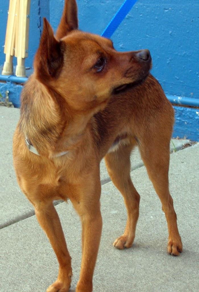 Chihuahua A274045