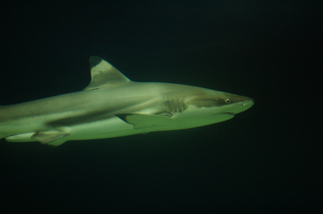 14-06-2008_blacktipped_reef_shark_rs