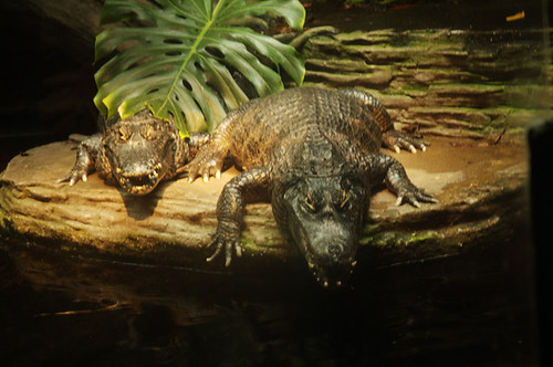 14-06-2008_american_alligators1_rs